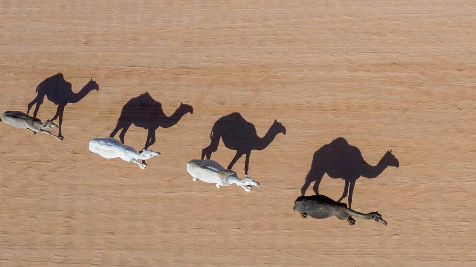 img 8211 - السعودية تبدأ عملية إنقاذ الإبل في أستراليا