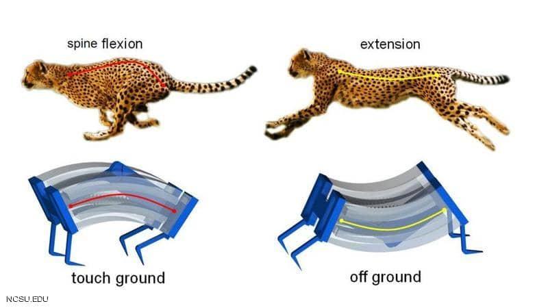 مستوحى من الفهد.. علماء يطورون أسرع روبوت في العالم - مستوحى من الفهد.. علماء يطورون أسرع روبوت في العالم