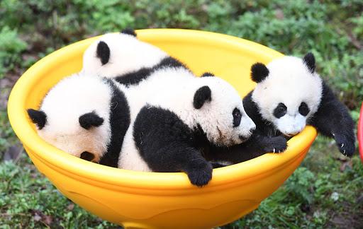 ٢٠٢١٠١١٥ ١٧٤٩٥٣ - دعوة عامة لتسمية أربعة دياسم باندا في الصين.  #العبدلي_نيوز