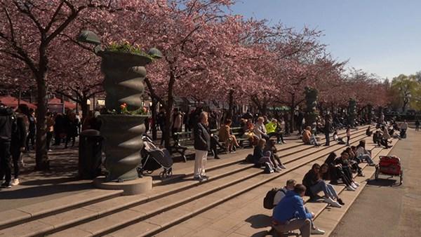 ٢٠٢١٠٤٢٠ ١٧٥٤٣٩ - سكان ستوكهولم يستمتعون بالتفتح الكامل لأزهار الكرز.  #العبدلي_نيوز