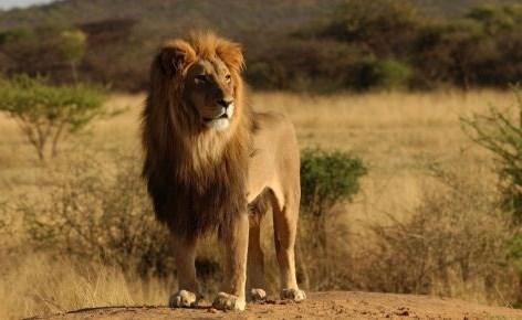 أسد - قتل أسد هرب من حديقة حيوان في أرض #الصومال بعد مهاجمة امرأة                 #حي_الشيخ_جراح         #العبدلي_نيوز