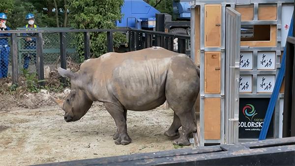 ٢٠٢١٠٦١١ ١٣١١٥٣ - وصول أنثى وحيد قرن إلى اليابان بحثا عن شريك لها.   #العبدلي_نيوز