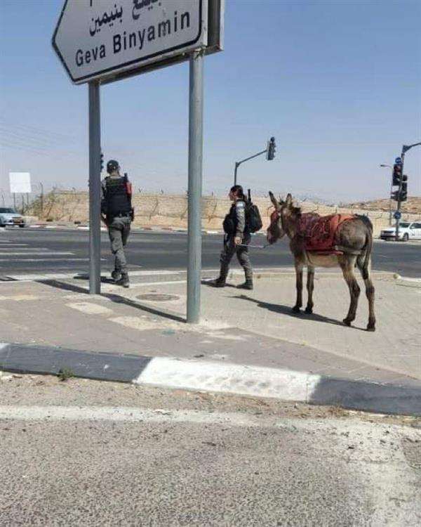 "96dc8cd4 bbf1 41c3 98c3 7bd75133bbe3 - في واقعة غريبة.. إسرائيل تعتقل ""حمارًا"" لاستخدامه في المقاومة"