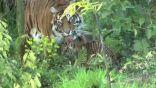 """حديقة حيوانات تطلق اسم """"كوفيد"""" على صغير نمر للتوعية بأهمية البيئة (صور + فيديو)"""