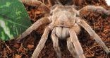 علماء يتوصلون إلى مُسكن ألم غير أفيوني من سُم أحد أنواع العناكب