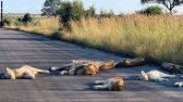 في جنوب أفريقيا.. أسود تستغل الحياة بدون بشر وتسترخي على طريق خال