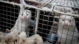 فنلندا تعمل على تطوير لقاح ضد كورونا لتطعيم حيوانات المنك وكلاب الراكون.     #العبدلي_نيوز