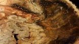 علماء يونانيون يكتشفون شجرة متحجرة عمرها 20 مليون عام.     #العبدلي_نيوز