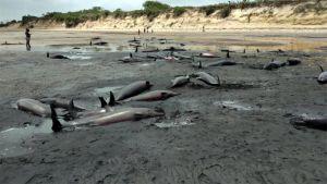 نفوق أكثر من مئة دلفين قبالة سواحل موزمبيق.   #العبدلي_نيوز