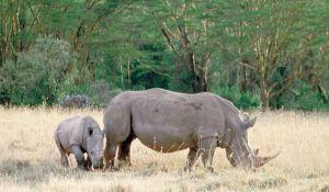 ارتفاع عدد حيوانات #وحيد_القرن ضحايا الصيد الجائر في #جنوب_إفريقيا.  #العبدلي_نيوز