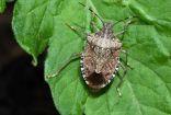 علماء يحذرون من حشرات ذات رائحة كريهة تنتشر في جميع أنحاء بريطانيا