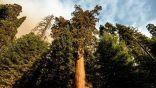 محاولات لإنقاذ أكبر #شجرة في العالم مع اقتراب حريق في #كاليفورنيا.         #العبدلي_نيوز