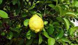 فاكهة الأترجة: كل ما تريد معرفته عنها وكيف تأكلها